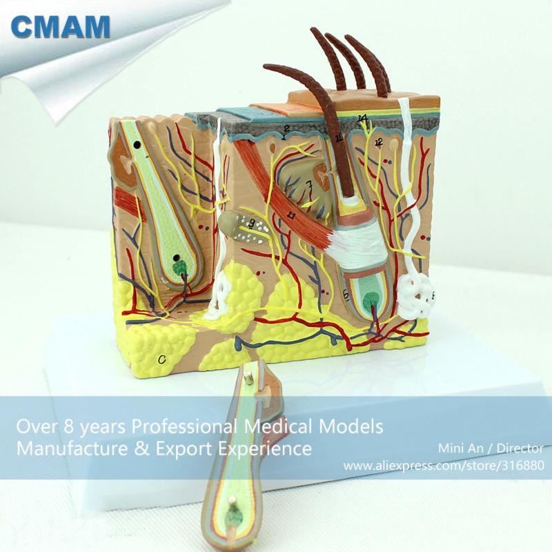 12531 CMAM-SKIN02 35 times Life-size Human Skin Block with Hair Anatomy Models cmam nasal01 section anatomy human nasal cavity model in 3 parts medical science educational teaching anatomical models