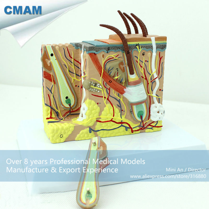 12531 CMAM-SKIN02 35 times Life-size Human Skin Block with Hair Anatomy Models
