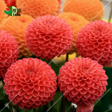 100 pcs/bag mix colors dahlia flower for home garden plant bonsai flowers
