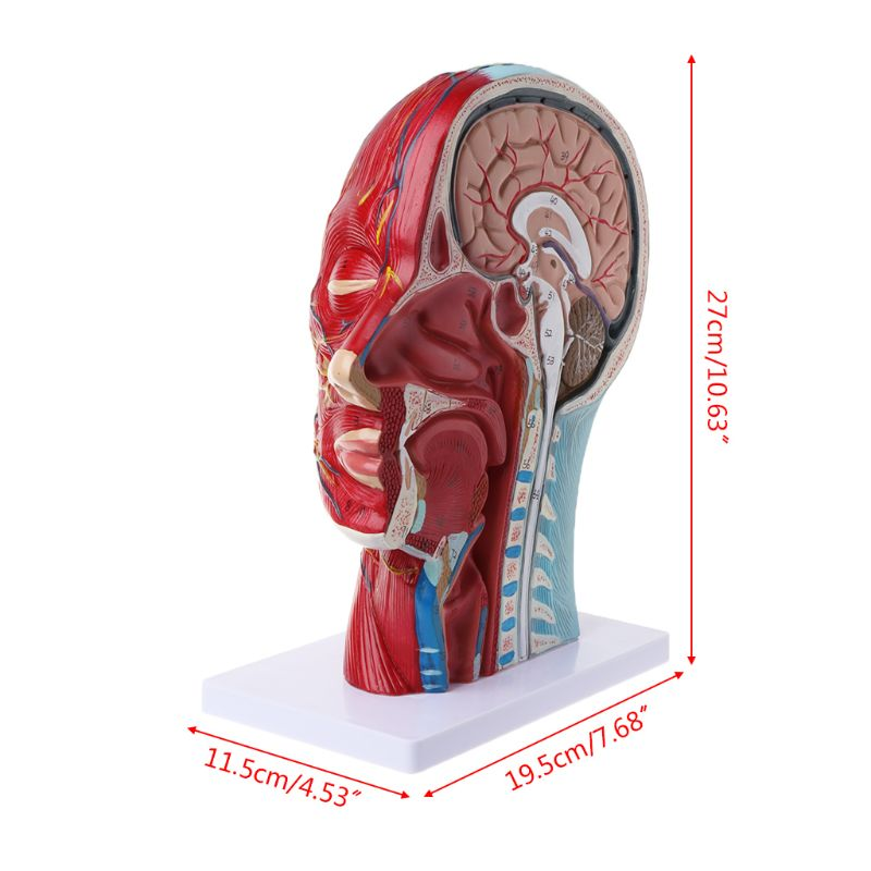 Image 5 - Human Anatomical Half Head Face Anatomy Medical Brain Neck Median Section Study Model Nerve Blood Vessel For Teaching-in Medical Science from Office & School Supplies