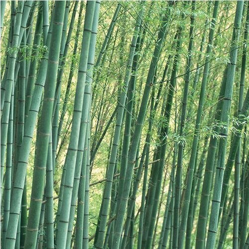 50pcs easy grow Fresh Giant Moso Bamboo bonsais for DIY Home Garden Plant * Best Organic