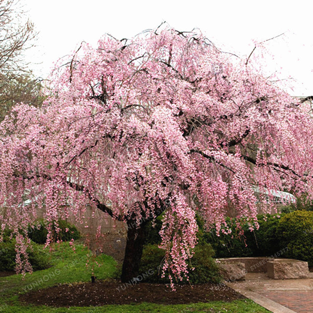 20 Pcs Bag Pink Fountain Weeping Cherry Tree Seeds DIY Home Garden Dwarf