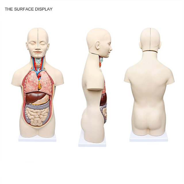 Online Shop 50cm 3d Human Anatomy Model Human Torso Assembly Model