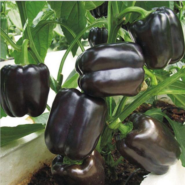 Black Sweet Pepper Seeds, 100pcs/pack