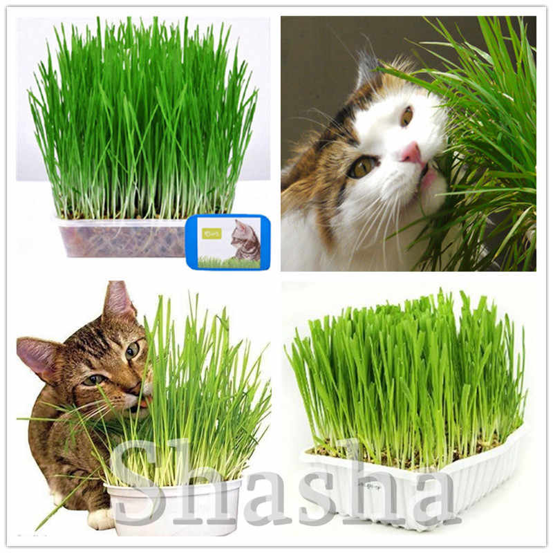 Sale! 500 Pcs Cat Grass Bonsai Herb Edible Lemongrass Kitchen Vegetable Potted Plant Medicinal Use Graines Legumes Potager