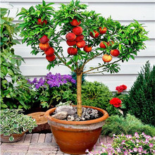 Garden flower Plant Dwarf bonanza peaches, Peach Tree – Peach seeds – Fruit bonsai seeds -2pcs
