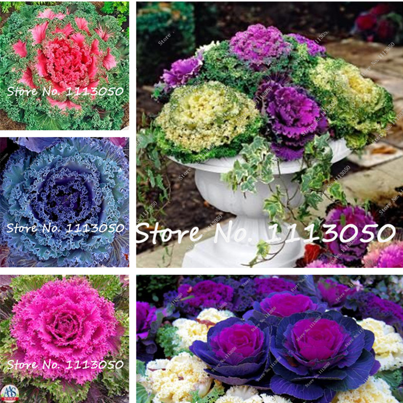 50 Pcs/Bag Cabbage Flower Seeds Easy Grow Fruits Vegetables Seed Plant Non-GMO For Home Garden Decor DIY Potted Plant