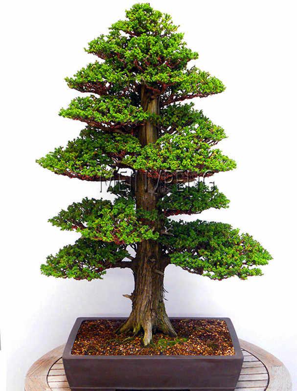 Lowest Price 100 True Sacred Japanese Cedar Tree Bonsai Plant Fir Plant Home Gardens Free Shipping 100flores