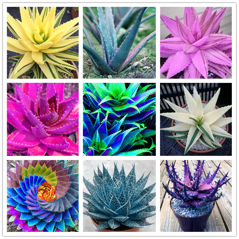 100 Pcs Rainbow Aloe Bonsai Mixed Excellent Succulent Plants Aloe Vera plant Succulentas Rare Flower Home Garden Decor Bonsai