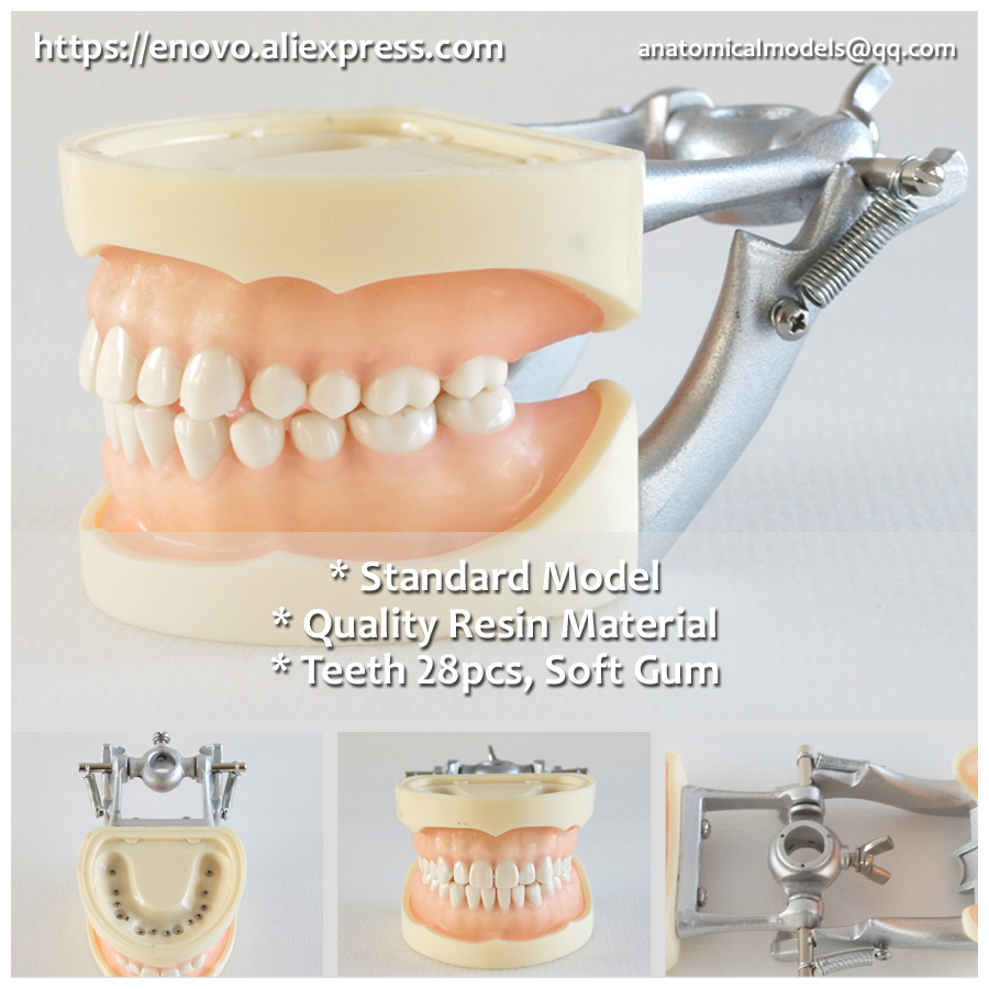 13011 DH109 Soft Gum 28pcs Teeth Standard Jaw Model, Medical Science Educational Dental Teaching Models