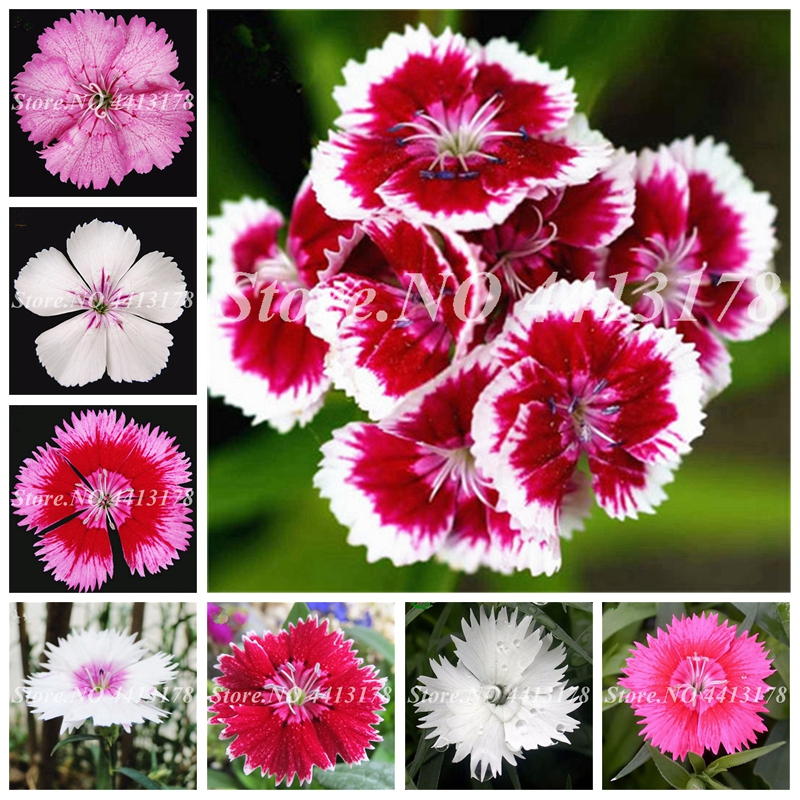 100 pcs/ bag Exotic Dianthus Flower Plants Balcony Potted Garden Perennial Flowers Carnation Caryophyllus Planta Purify The Air