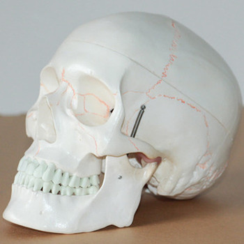 1:1 Art medical skull model human skull Anatomical Model Medical Teaching free shipping