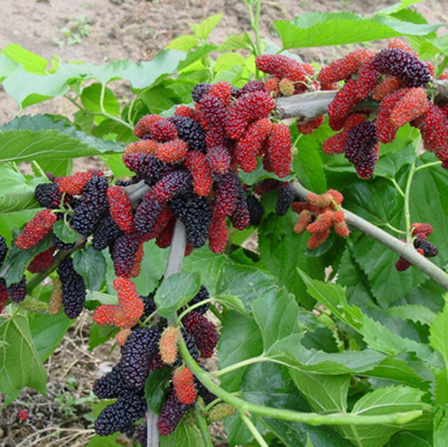 US $0 19 62% OFF|Potted seasonal fruit garden natural health Mulberry year  results Blackberry bonsais 100pcs-in Bonsai from Home & Garden on