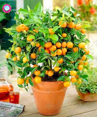 20PCS Bonsai Sweet Orange Seeds Mini Potted Edible Fruit Seeds China Top Quality Orange Tree Seeds Perennial Plants For Garden