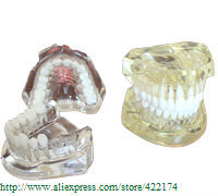 Free Shipping Natural size mode(removable) crystal dental tooth teeth dentist dentistry anatomical anatomy model odontologia