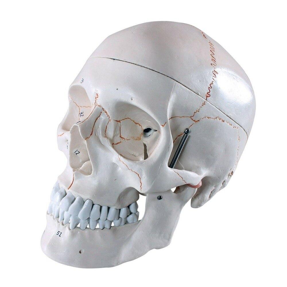 Numbered Life Size Human Skull Anatomy Skeleton Anatomical Sitting