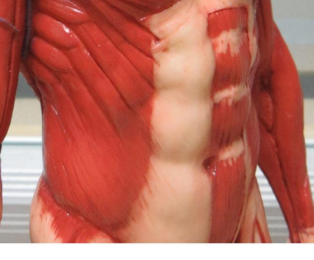 Masculino 1:6 Anatomia fig v.3 sistema músculo superficial Pintura ...