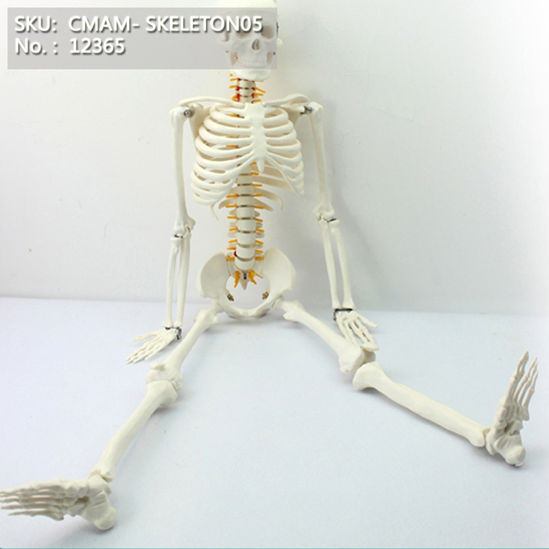 CMAM/12365 85 skeleton, spinal nerve, Medical Full Skeleton Anatomical Human Model