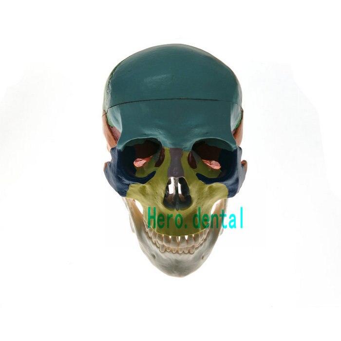 Modèle de crâne humain anatomique coloré dentaire 3 pièces modèle d'enseignement en céramique blanc - 2