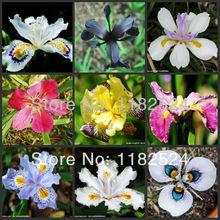 Freeship 100 шт. mix-цветные Флаг Iris Семена-Бонсай Бабочка Фаленопсис amabilis семена цветов растений