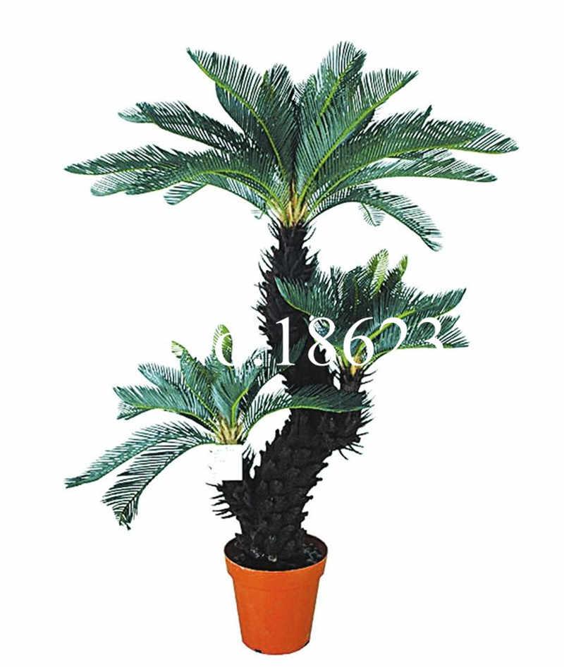 50 قطعة حديقة النخيل الخيزران سيدة شجرة النخيل النباتات الداخلية Excelsa الخيزران النخيل فلوريس تنقية الهواء الأزرق سيكاس بونساي سهلة النمو