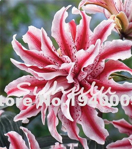 50Pcs Bonsai Double Lily Flower Plants Living Room Potted Flower Pot ...