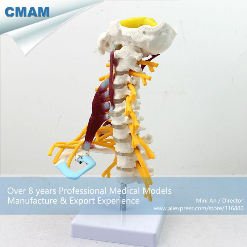 12385 CMAM-VERTEBRA02 Luxury Life-size Cervical Muscle and Nerve Model,Spine/Vertebrae Models > Cervical Vertebra cmam tf01 c1 c7 cervical vertebra bones swabone models spine cervical cervical vertebrae