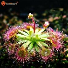 Fine Silver Hair Sundew Plant Seeds Bonsai Seeds Novelty Plants Fresh Cordyceps DIY Home Garden 100 pcs/ bag