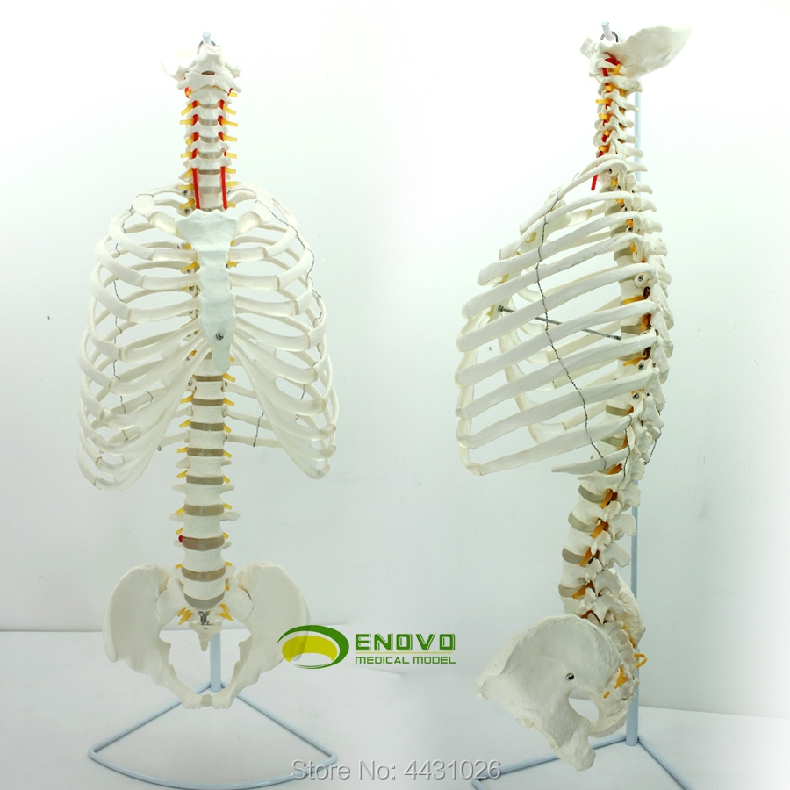 ENOVO The spine model of the spine of the spine of the human spine