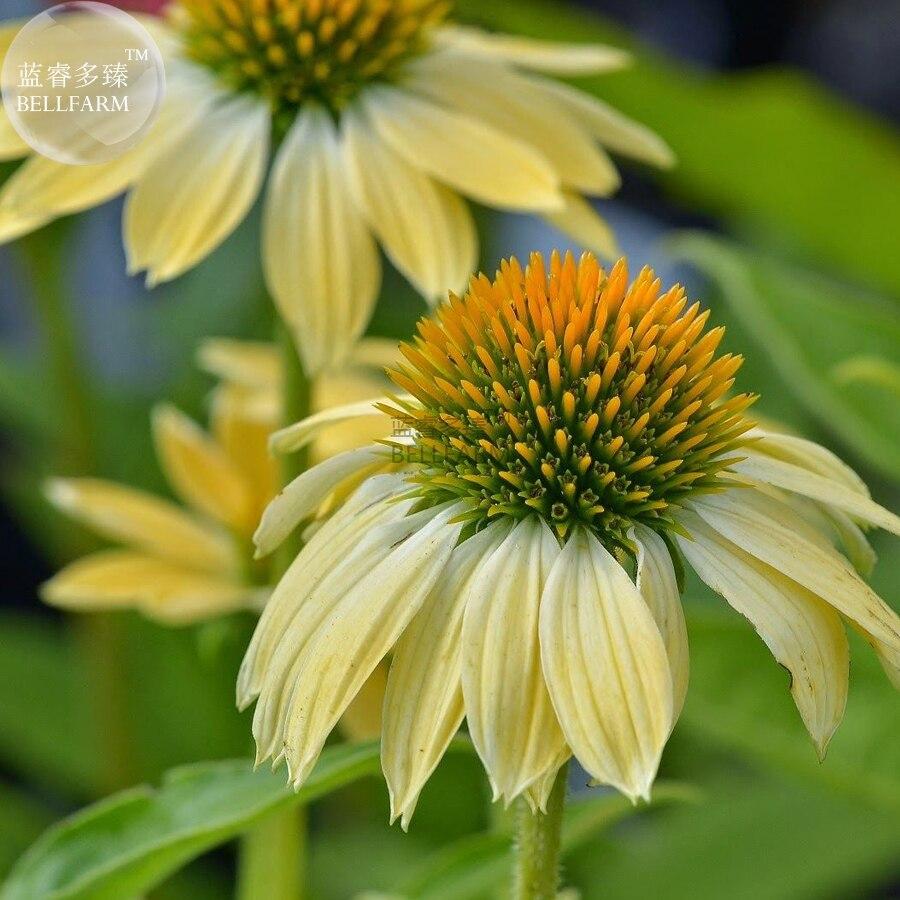 Bellfarm Bonsai Sandy Yellow Echinacea Purpurea Coneflower Perennial