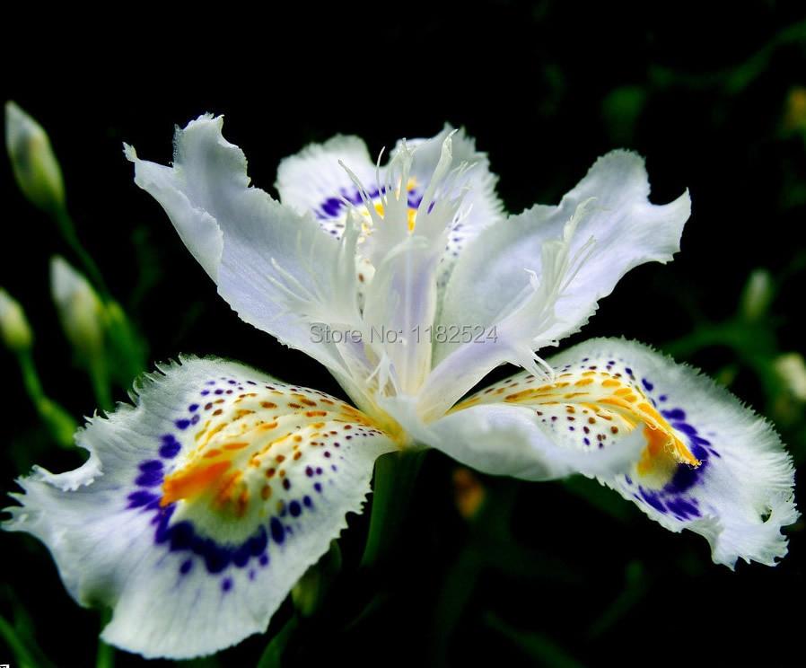 100 unids , japonés Iris Japonica semillas de flor blanca Iris semillas de orquídeas japonés flores