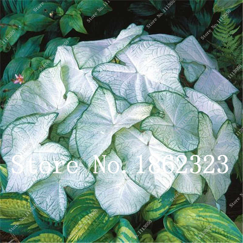 2018 Promotion Real Indoor Plants 50 Pcs / Pack, Potted Plant Thailand Caladium Collection, DIY Home Garden &bonsai Plant
