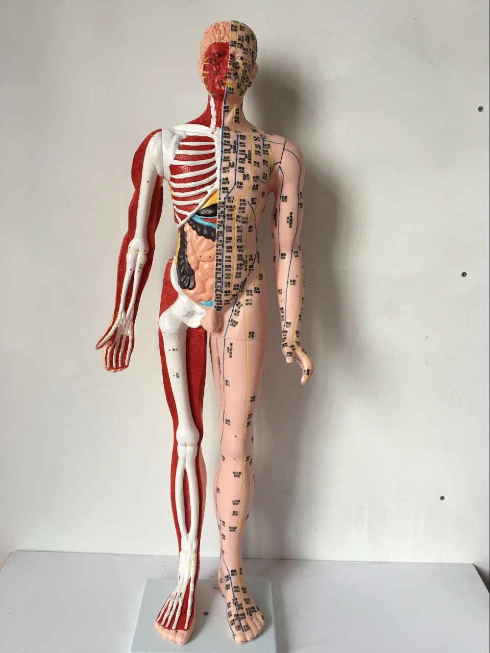 Muscle Anatomy Model Topsimages