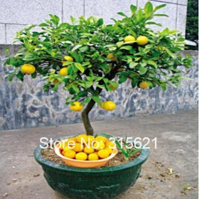buy bonsai lemon tree seeds high survival rate fruit tree seeds for home gatden backyard 30pieces from reliable seed suppliers on green
