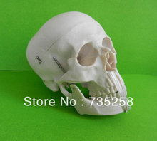 Life-Size Skull Model  , A 1:1 Model of the Skull  Simulation Model of the Skull