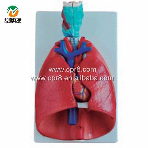 BIX-A1057 Throat, Heart, lung Model G012BIX-A1057 Throat, Heart, lung Model G012