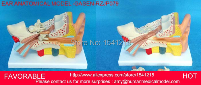 MEDICAL ANATOMICAL,EAR ANATOMICAL MODEL,ANATOMY MODEL ,EAR MODEL,EAR ANATOMY MODEL,AURICLE, FOR MEDICAL ANATOMY-GASEN-RZJP079 sagitally section model about tissue decomposition model for doctor patient communication model with magnetic
