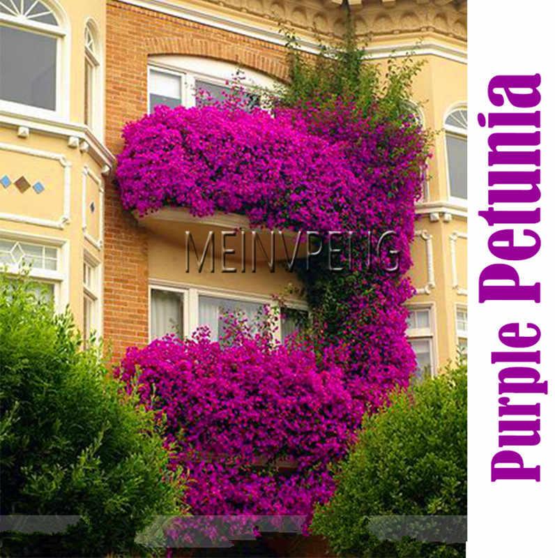 โปรโมชั่น! 100% True แขวนสีม่วง Petunia ดอกไม้ bonsai, หอมสวนประดับดอกไม้, ดอกไม้ยืนต้นพืช