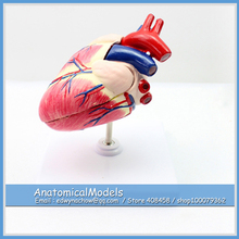 ED-A06 Veterinarian's Dog Canine Heart Model ,  Medical Science Educational Teaching Anatomical Models