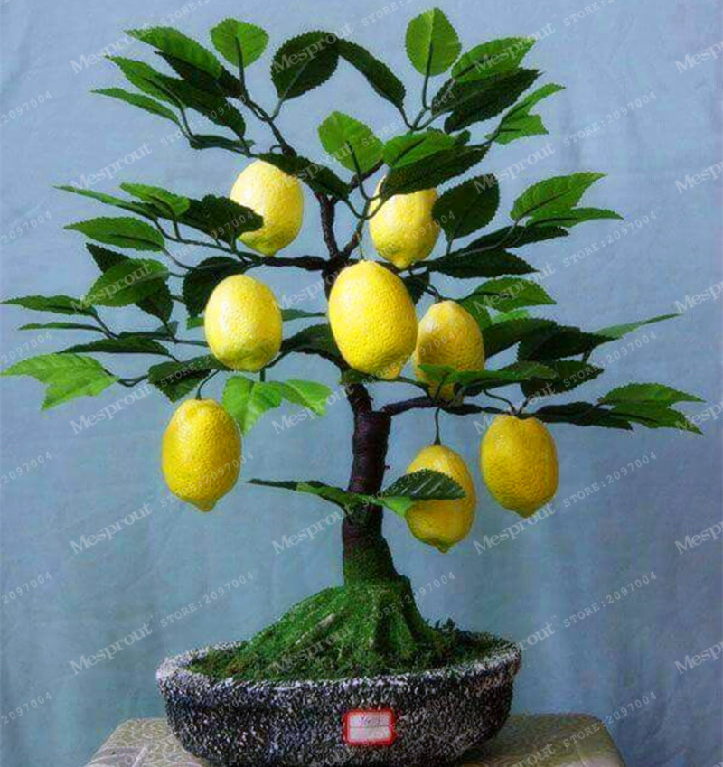 10pcs Lemon Tree Seeds Fruit Seeds Bonsai Plant DIY Home Garden BONSAI seeds Edible Green  High survival Rate Fruit  Lemon seeds ...
