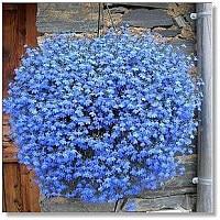 200 Sky Blue Lobelia Regatta Lobelia Erinus Flower Seeds Plant Seeds