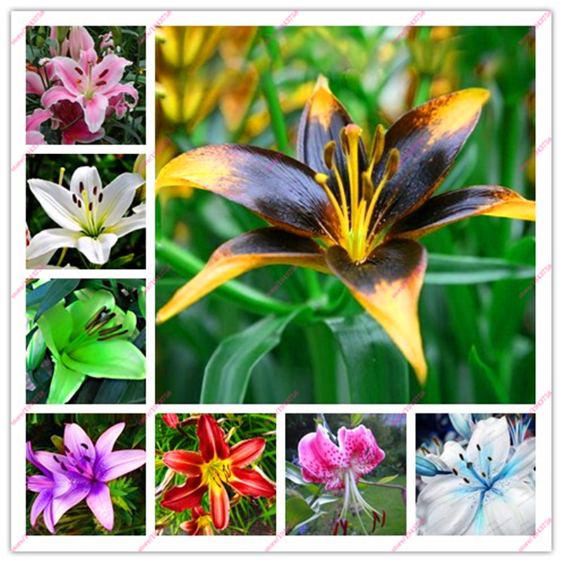 100pcs lily seeds, lily flower, (not lily bulbs), lilium flower seeds, Faint scent, bonsai pot plant for home garden plants