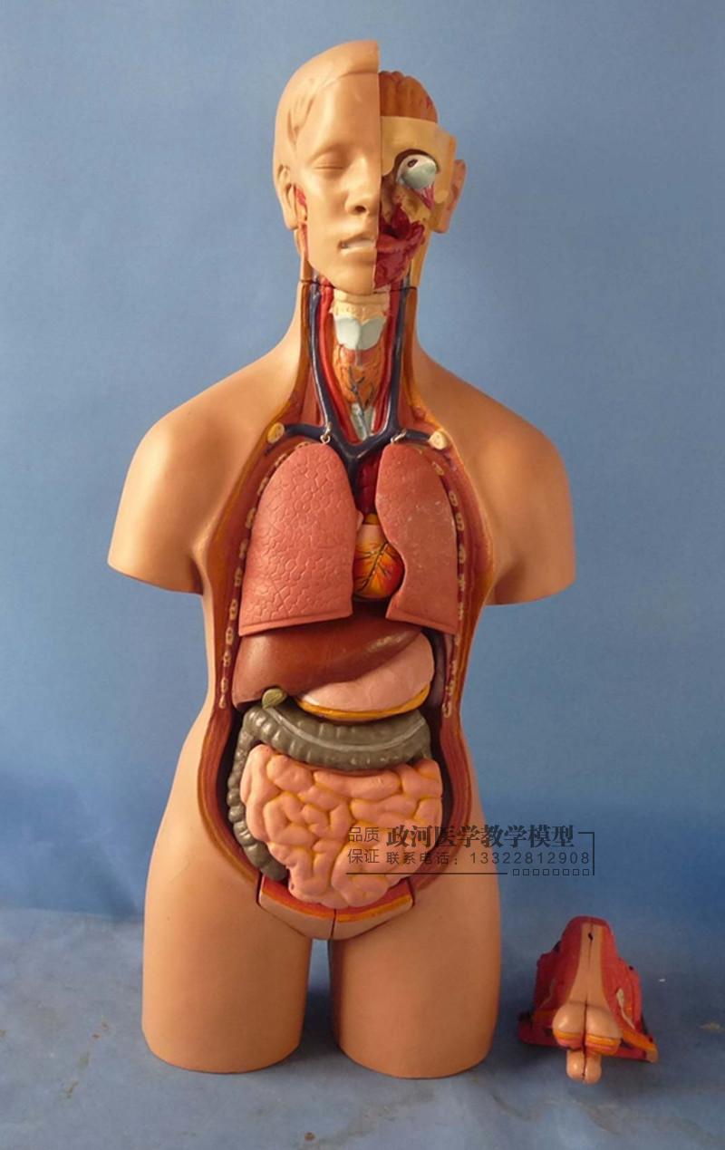 55cm Hermaphroditic Torso Model Detachable 19 Parts Human Anatomy