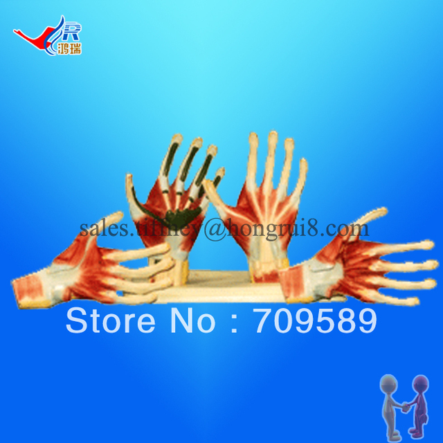 ISO Hand Anatomy model, Palm Model, Anatomical Model-in Medical ...