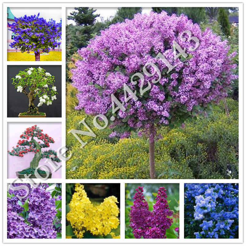 100 PCS Beautiful lilac flower clove flower bonsai lilac trees Syzygium Aromaticum perennial outdoor plant for home garden