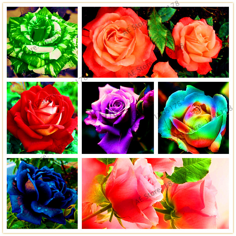 Hot sale!205pcs mixed color rare rose seeds bonsai flower seeds home gardening plant rainbow,black,rose seeds