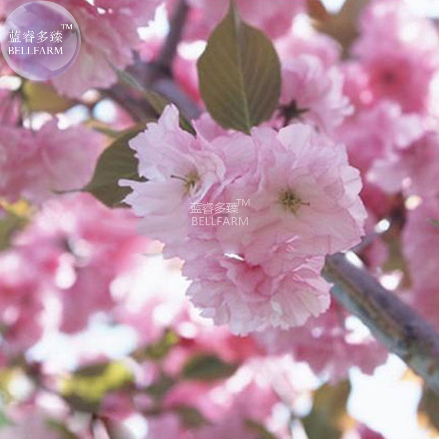 Bellfarm Japanese Pink Cherry Blossom Sakura Tree Oriental Sweet