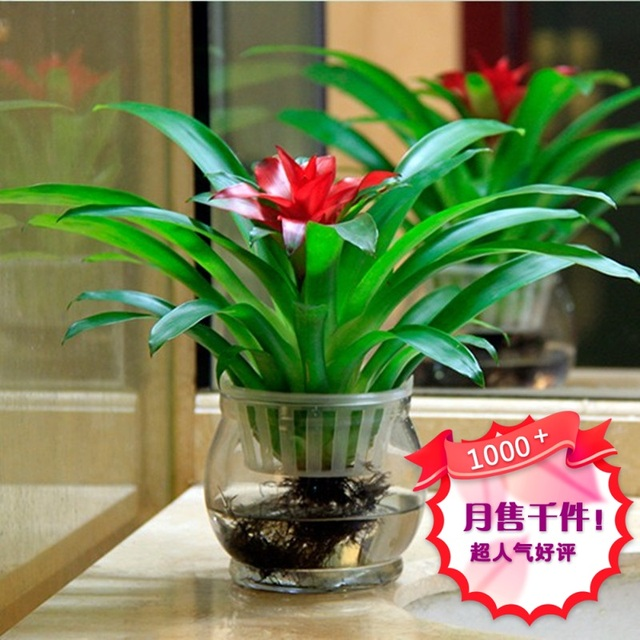 Superbe Opportunity Knocks Package Potted Hydroponic Flowers Red Bromeliad Water  For Indoor Plants Plant Tillandsia