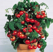 On Sale!!! 2016 Rushed New Outdoor Plants Promotion Garden tomato seed Potted Bonsai Balcony fruit Vegetables seed 100pcs