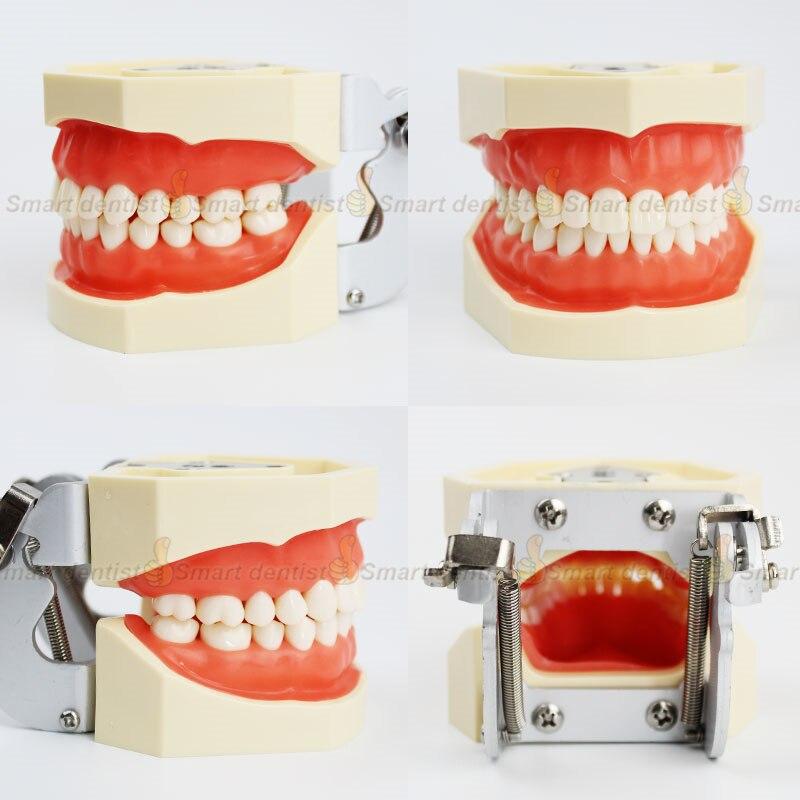 Modèle de dents dentaires modèle Standard d'enseignement dentaire 28 dents avec articulateur FE